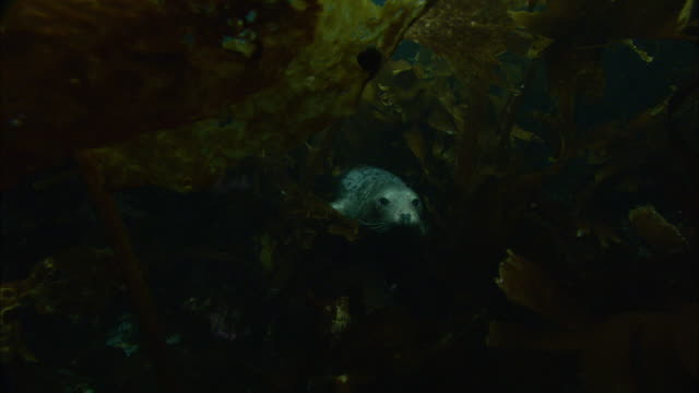 grey seals (halichoerus grypus) swim amongst seaweed, atlantic ocean, ireland - seaweed stock videos & royalty-free footage