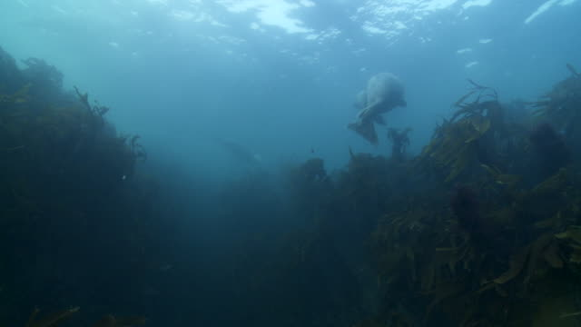 Grey seals swimming amongst kelp