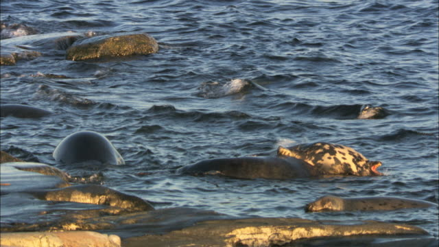 ws grey seals swimming and fighting in water / sweden - grey seal stock videos & royalty-free footage