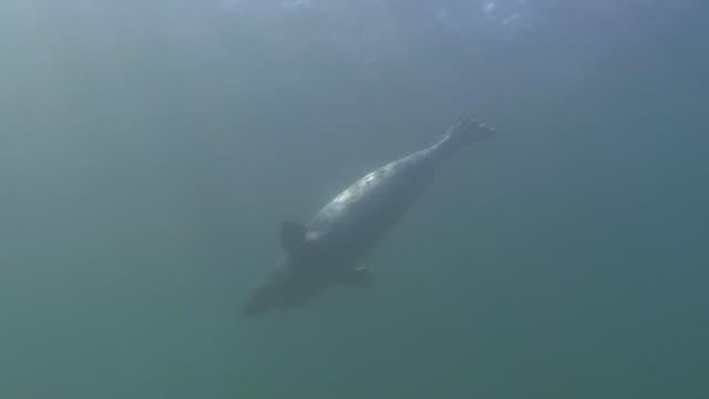 vídeos y material grabado en eventos de stock de gris juntas - foca gris