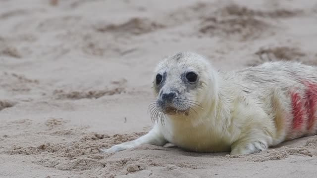 grey seals with their newborn pups on the beach at horsey in norfolk, as the pupping season begins at one the uk's most important sites for the... - grey seal stock videos & royalty-free footage