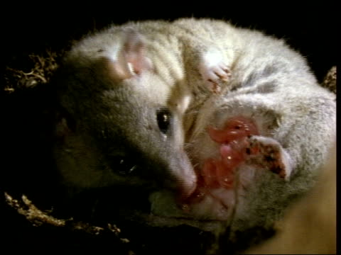 cu grey short-tailed opossum licking newborn young; good shots of young - female animal stock videos & royalty-free footage