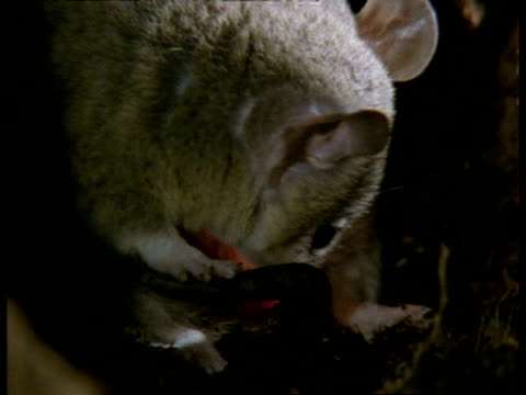 vídeos de stock, filmes e b-roll de cu grey short-tailed opossum newborn young being licked by female, in burrow - marsupial