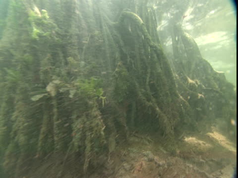 """vidéos et rushes de grey snappers dart in and out of submerged mangrove roots. - """"bbc natural history"""""""