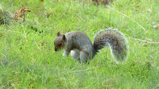 a grey squirrel burying a nut in windermere, uk. - rodent stock videos & royalty-free footage