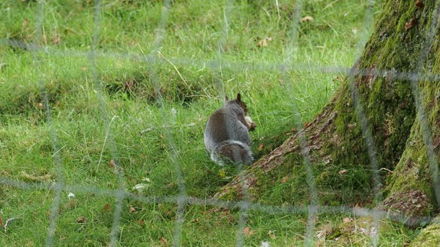 a grey squirrel carrying a conkr to bury in windermere, uk. - rodent stock videos & royalty-free footage