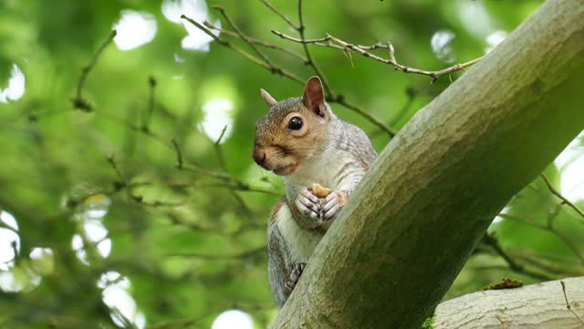 a grey squirrel eating a nut in windermere, uk. - rodent stock videos & royalty-free footage