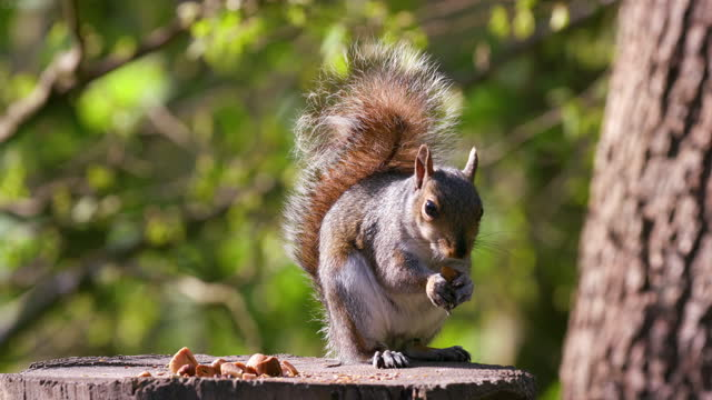 grey squirrel eating nut, scarborough, north yorkshire, england - rodent stock videos & royalty-free footage