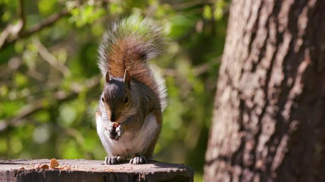 grey squirrel eating nut, scarborough, north yorkshire, england - alertness stock videos & royalty-free footage