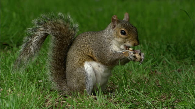 stockvideo's en b-roll-footage met grey squirrel (sciurus carolinensis) eats peanut in park, bristol, uk - pinda voedsel