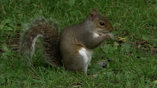 Grey squirrel (Sciurus carolinensis) eats peanut in park, Bristol, UK