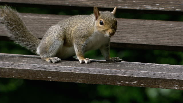 Grey squirrel (Sciurus carolinensis) forages in park, Bristol, UK