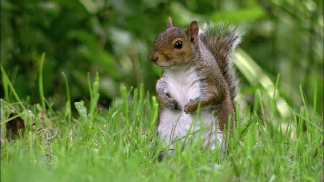 Grey squirrel (Sciurus carolinensis) forages in park, Bristol, UK