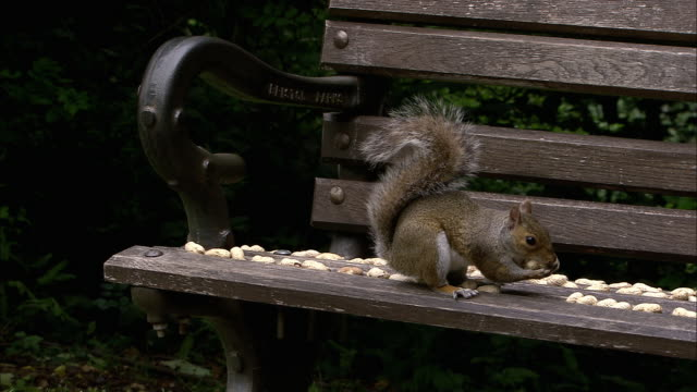 grey squirrel (sciurus carolinensis) gathers peanuts from park bench, bristol, uk - peanut food stock videos and b-roll footage