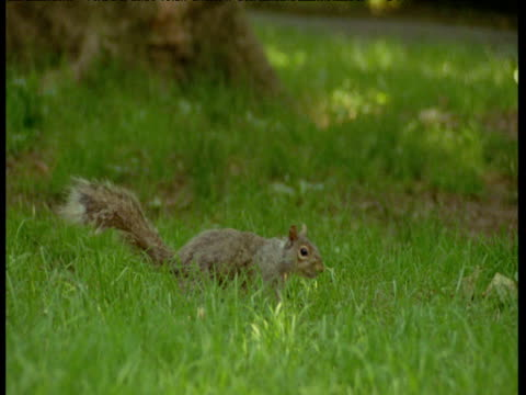 Grey squirrel looks around nervously in park then runs away, New York City
