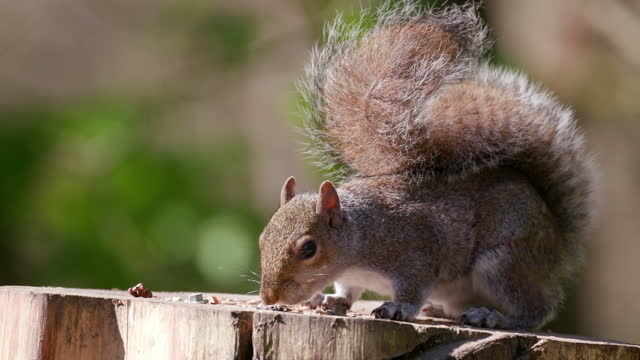 grey squirrel on bird table, scarborough, north yorkshire, england - one animal stock videos & royalty-free footage