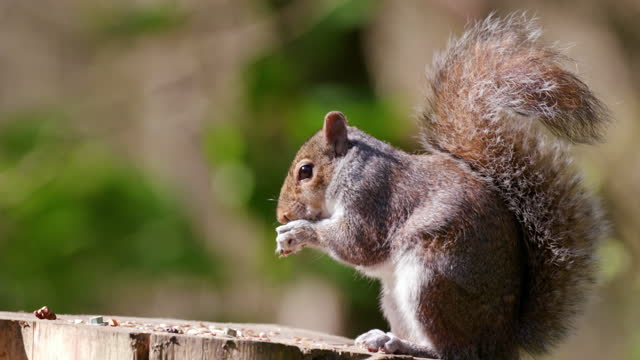 grey squirrel on bird table, scarborough, north yorkshire, england - rodent stock videos & royalty-free footage