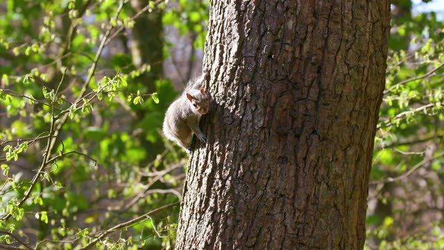 grey squirrel on tree, scarborough, north yorkshire, england - 木肌点の映像素材/bロール