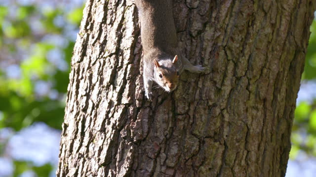 grey squirrel on tree, scarborough, north yorkshire, england - rodent stock videos & royalty-free footage