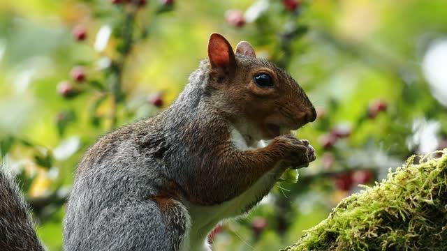 a grey squirrel, sciurus carolinensis feeding in a tree at leighton moss, lancashire, uk. - rodent stock videos & royalty-free footage