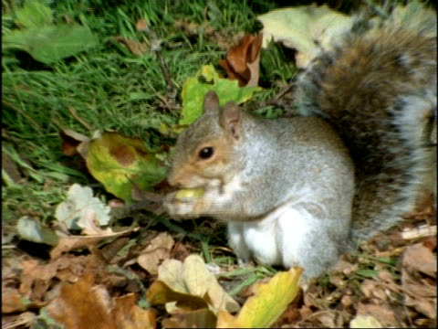 grey squirrel, sciurus carolinensis, finds oak acorn, then bites growing tip out of acorn before burying it in leaf litter. england - nut food stock videos & royalty-free footage
