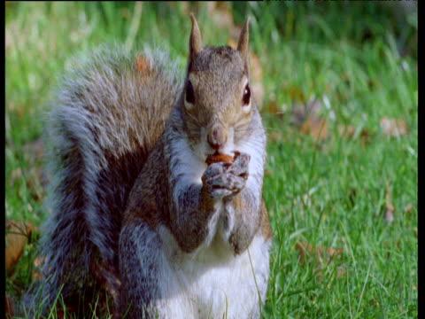 grey squirrel shells and eats acorn, forest of dean, uk - 噛む点の映像素材/bロール