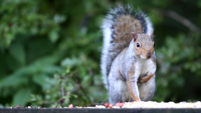grey squirrel - squirrel stock videos and b-roll footage