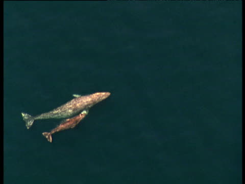 grey whale and calf, sea of cortez - sea of cortez stock videos & royalty-free footage