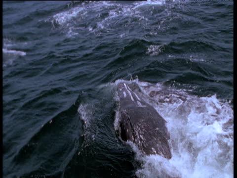 vidéos et rushes de grey whale mother and calf at surface, monterey, california - cétacé