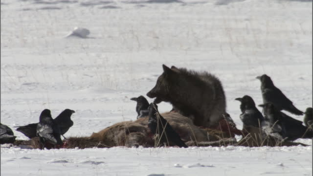 grey wolf (canis lupus) and ravens (corax corax) feed on elk carcass in snow, yellowstone, wyoming, usa - yellowstone nationalpark stock-videos und b-roll-filmmaterial