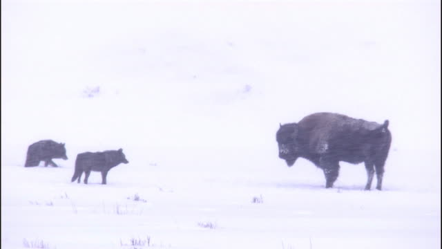 Grey wolf (Canis lupus) approach bison in snow storm, Yellowstone, USA