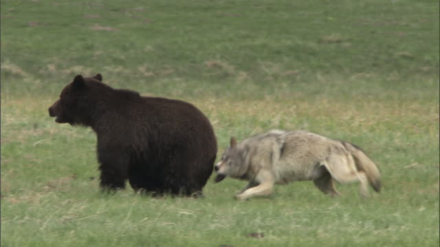 vídeos de stock, filmes e b-roll de grey wolf (canis lupus) bites grizzly bear (ursus arctos) during fight over elk carcass, yellowstone, usa - dois animais