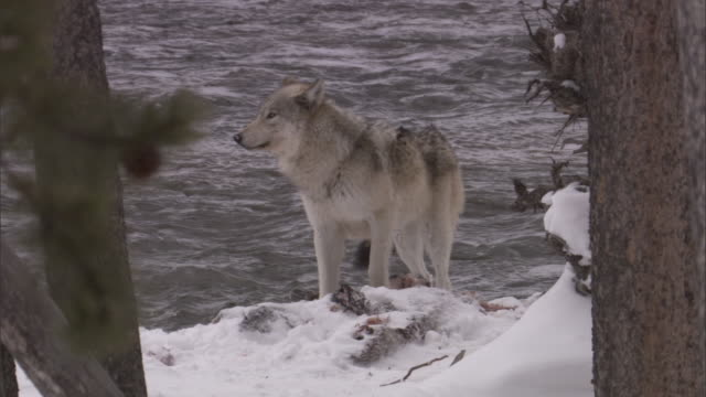 grey wolf (canis lupus) by river in snowy forest, yellowstone, usa - river yellowstone stock videos and b-roll footage
