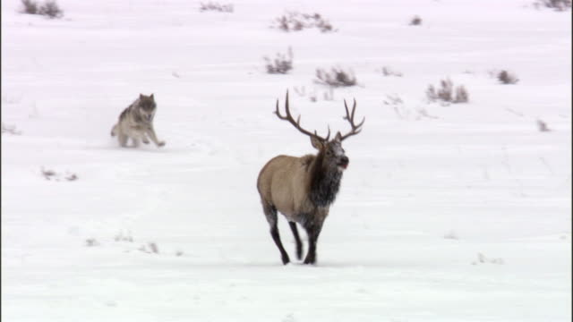 Grey wolf (Canis lupus) chases elk (Cervus canadensis) in snow, Yellowstone, USA