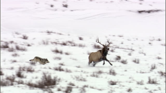 stockvideo's en b-roll-footage met grey wolf (canis lupus) chases elk (cervus canadensis) into river, yellowstone, usa - yellowstone national park