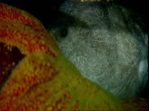 A grey wolf eel bites the tentacle of a sunflower seastar.