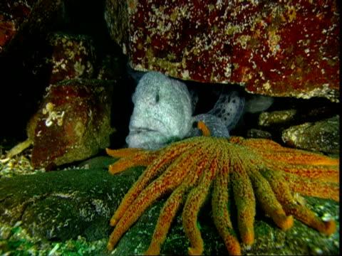 A grey wolf eel hides deeper under a rock as a sunflower seastar moves closer.