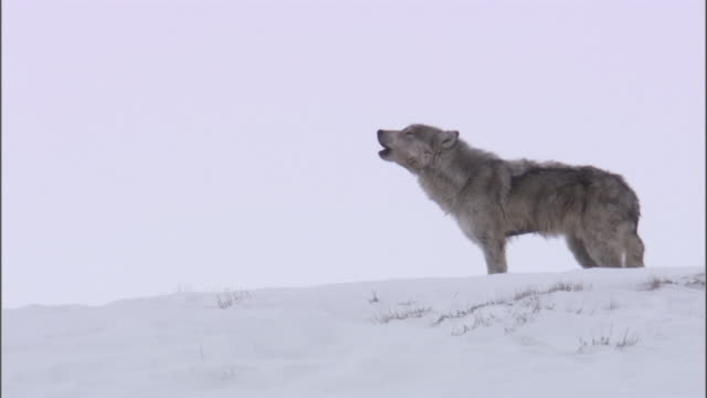 Grey wolf (Canis lupus) howls in snow, Yellowstone, USA