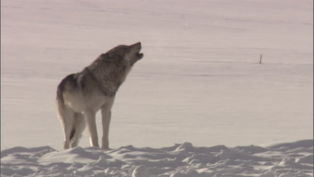 Grey wolf (Canis lupus) howls on snow, Yellowstone, USA