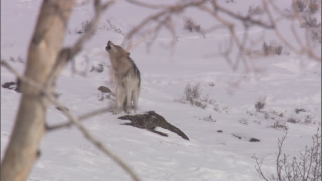 Grey wolf (Canis lupus) howls on snowy hillside, Yellowstone, USA