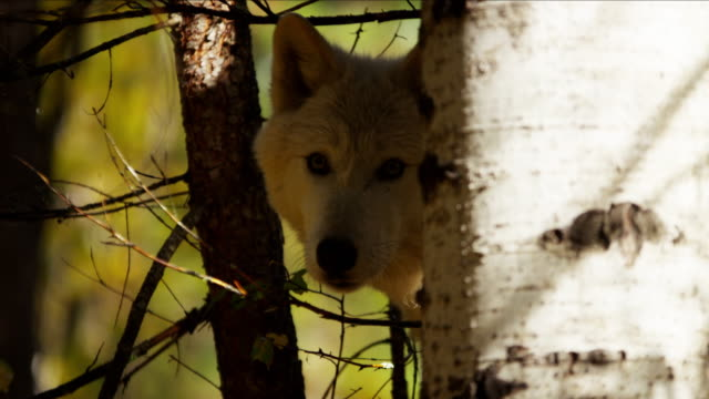 grey wolf hunting in outdoor woodland north america - ökotourismus stock-videos und b-roll-filmmaterial