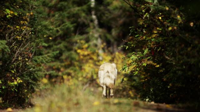 vídeos de stock, filmes e b-roll de grey wolf hunting in outdoor woodland north america - pata com garras