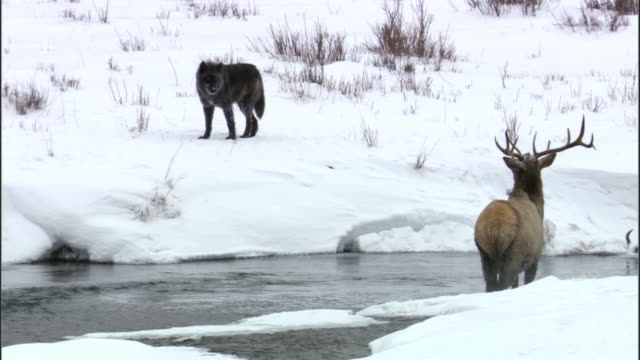 grey wolf (canis lupus) hunts elk (cervus canadensis) in river, yellowstone, usa - 2009 stock videos & royalty-free footage