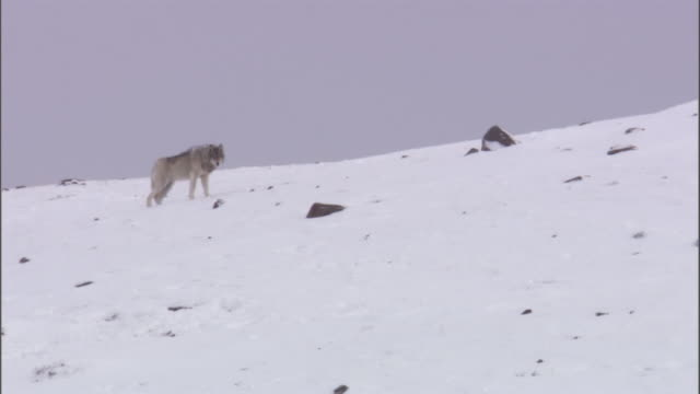 grey wolf (canis lupus) hunts elk (cervus canadensis), yellowstone, usa - 2009 stock videos & royalty-free footage