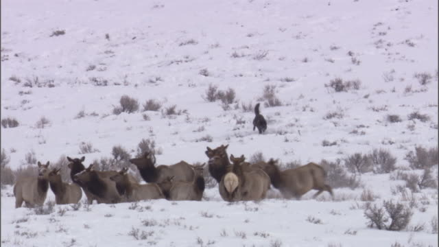 Grey wolf (Canis lupus) hunts elk (Cervus canadensis), Yellowstone, USA