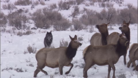 grey wolf (canis lupus) hunts elk (cervus canadensis), yellowstone, usa - yellowstone national park stock videos & royalty-free footage