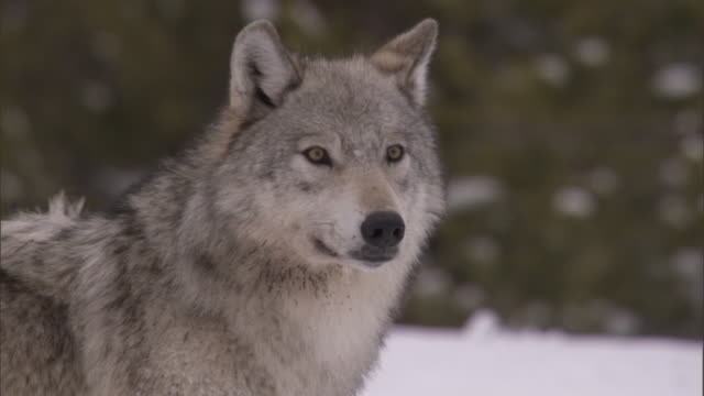 grey wolf (canis lupus) in snowy forest, yellowstone, usa - yellowstone nationalpark stock-videos und b-roll-filmmaterial