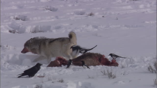 grey wolf (canis lupus) leaves elk carcass to birds, yellowstone, usa - 2009 stock videos & royalty-free footage
