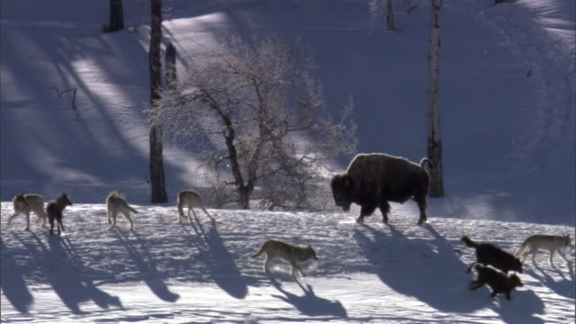 grey wolf (canis lupus) pack gathers around lone bison (bison bison), yellowstone, usa - american bison stock videos & royalty-free footage