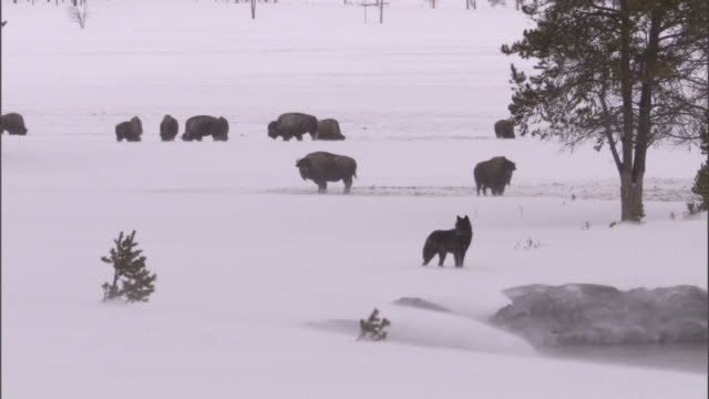 grey wolf (canis lupus) prowls near bison herd, yellowstone, usa - american bison stock videos & royalty-free footage
